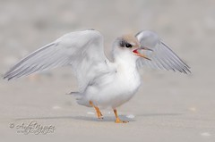 Angel's Wings (Wild Wings Photography) Tags: wild baby white bird nature angel wings least tern mywinners platinumpeaceaward