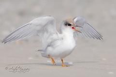 Angel's Wings (Wild Wings Photography) Tags: wild baby white bird nature angel wings least tern mywinners platinumpeaceaward