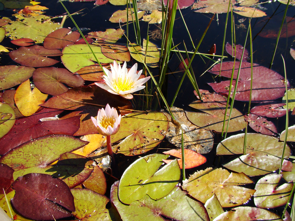 DSC08843 Waterlilies