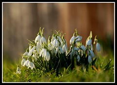 Spring snowdrops (Levels Nature) Tags: uk flowers light england flower nature somerset explore snowdrops snowdrop westonzoyland