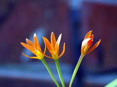 Tres de tres (AlfredoZablah) Tags: flores orchid flower nature colors digital reflex orchids expo olympus el colores explore alfredo salvador orquídeas zuiko hdr exposicion mejor mejores bellezas naturales e510 uro 70300mmed xplored zablah alfredozablah