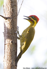 Golden-green Woodpecker - Piculus chrysochloros