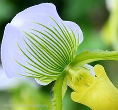 Lemon Lime (lynne_b) Tags: orchid flower nature illinois flora exotic greenhouse tropical bloom explored twtme haussermans