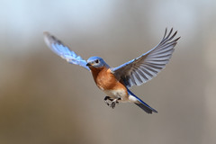 Eastern Bluebird In Flight (Steve Byland) Tags: bird nature canon 7d bluebird eastern sialis naturesfinest sialia specanimal impressedbeauty avianexcellence