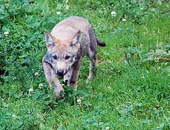 Le louveteau (BrigitteChanson) Tags: animal wolf loup lupo lobezno louveteau wolfcub juraparc lupacchiotto allofnatureswildlifelevel1