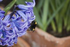 Bee On Flower (~sammi~) Tags: bee clumberpark notinghamshire