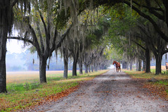 Horse - Oak Avenue (Sco C. Hansen) Tags: trees horse fog landscape oak nikon south low country scenic southern spanishmoss dirtroad hansen lowcountry d300 beaufortcounty coosaw stockphotoagency beaufortphotographer hiltonheadphotographer wwwlowcountryphotographynet photostockagency