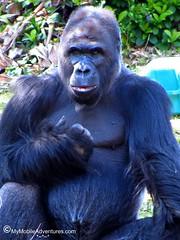 IMG_3128-WDW-DAK-gorilla-daddy