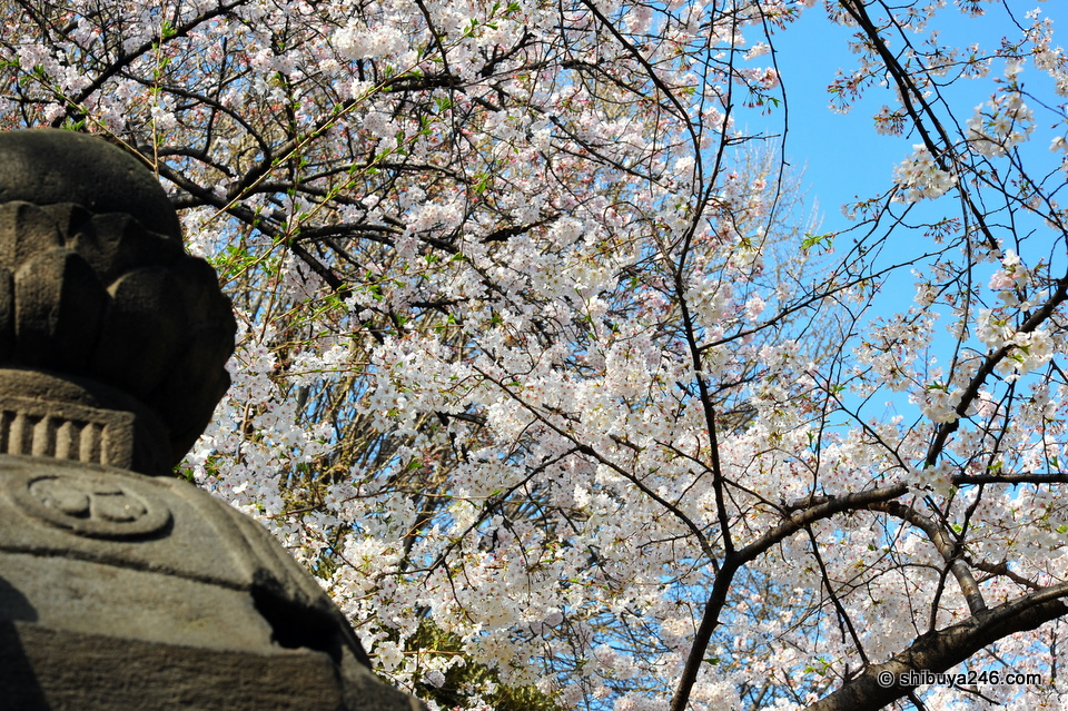 Stone lanterns and Sakura.