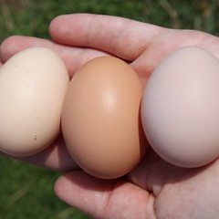 backyard chicken eggs square (Rachel Tayse) Tags: sussex australorp fresheggs orpington backyardchickens