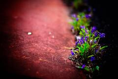 roadside (moaan) Tags: life flower digital 50mm spring flora dof bokeh violet f10 utata april flowering wildflowers noctilux 2010  rd1s inlife epsonrd1s leicanoctilux50mmf10  gettyimagesjapanq1 gettyimagesjapanq2