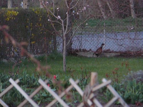 Fasan im Nachbargarten