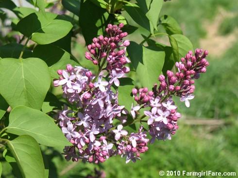 Lilacs! 2