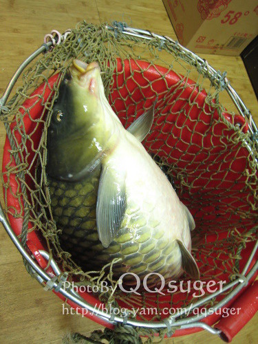 你拍攝的 鯉魚_02。