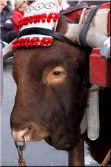 Buey (el dueo de la mirada) (AlmaMurcia) Tags: animal nikon d70s murcia noble buey nobleza bandodelahuerta almamurcia