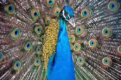 Blue Peacock (*Pinar*) Tags: blue bird animal nikon peacock d40 mywinners