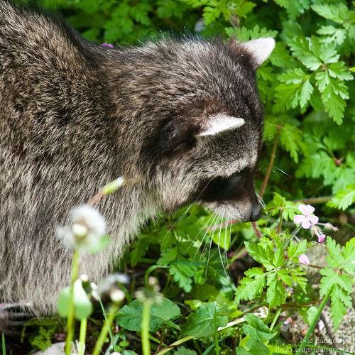 Raccoon #3