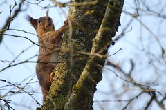 Out climbing  (~Ranveig Marie~) Tags: wild wildlife spring animal squirrel ekorn cute bmlo tree birch branches climb climbing sky sunnhordland hordaland norge norway norwegen norsk natur nature norwegian moss treetrunk trunk fauna dof inthewild bjrk woods forest skandinavisk nordisk scandinavia skandinavia panoramafotogrfico eurasianredsquirrel redscuirrel eichhrnchen sciurusvulgaris sciurius sciuridae rodentia gnager rodent ntteliten bokeh pattedyr mammal mammalia