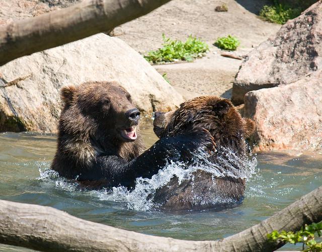 Bear tussle, Bronx Zoo