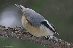 1.20490 Sittelle à poitrine rousse / Sitta canadensis / Red-breasted Nuthatch (Laval Roy) Tags: quebec aves oiseaux birds canon sittelleàpoitrinerousse sittacanadensis redbreastednuthatch eos7d ef300mm14lisextender14xiii passeriformes sittidés forêtboréale lavalroy forêtmontmorency parcdeslaurentides hiver saisonhivernale