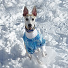 Winter Can Be Fun (DiamondBonz) Tags: spanky snow whippet dog pet hound sweater smile fun run play