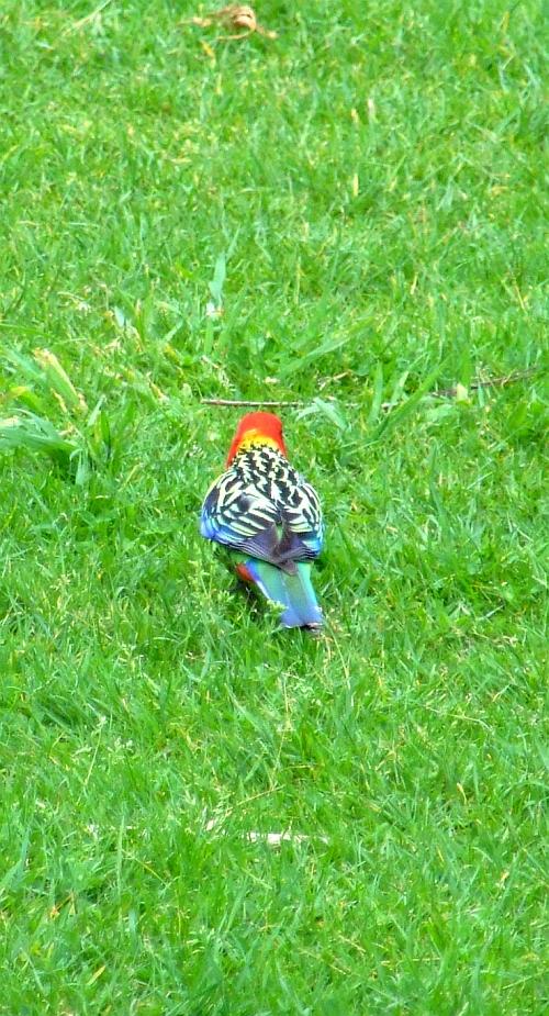 eastern rosella parrot 03