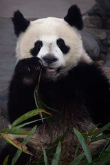 Panda in Chengdu Research and Breeding Centre (knet2d) Tags: china bear panda center research chengdu osos