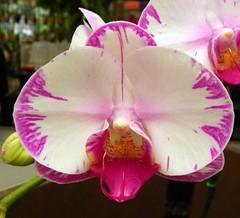 ORCHID BEAUTY (carolynthepilot) Tags: orchid nature beautiful paradise photographer florida unique postcard tropical sarasota awardwinningphoto selbygardens goldenwings marieselbygardens orchidbeauty kodakz980 carolynbistline carolynthepilot bistline bbcsponsor bbcsponsored