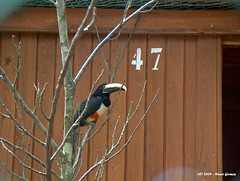 Aracari-de-pescoo-negro / Black-necked Aracari (Nuno-Gomes) Tags: life wild nature animal zoo toucan interesting fantastic bestof shot great best explore greatshot colored gaia ohhh toco blacknecked nunogomes excelent aracari topseven quintadesantoincio aracaridepescoonegro mygearandmepremium mygearandmebronze mygearandmesilver mygearandmegold mygearandmeplatinum mygearandmediamond ngomes