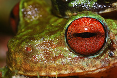 Eye-catching (asnyder5) Tags: red wild color macro eye latinamerica nature america rainbow nikon rainforest stream wildlife conservation amphibian honduras andrew frog research ojos jungle fungus latin tropical brook endangered cloudforest biology rare soe snyder centralamerica biodiversity moist 105mm cusuco amplexus nikon105mm d80 operationwallacea opwall abigfave batrachochytrium dendrobatidis merendon montanecloudforest platinumheartaward macrolife andrewsnyder chytrid cusuconationalpark batrachochytriumdendrobatidis chytridiomycosis asnyder5 andrewmsnyder amphibianchytridfungus