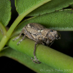 Broad-nosed Weevil?? (Cory Dalva) Tags: weevil curculionidae entiminae broadnosed