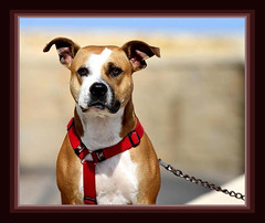 Yura (king David Israel) Tags: dog animal animals canon pitbull perro 7d yura perra frriend canoneos7d