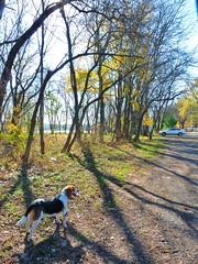297 (johnjmurphyiii) Tags: park autumn dog pet beagle landscape connecticut f cromwell connecticutriver fletch johnjmurphyiii