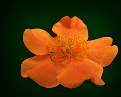 Orange Float (Clyde Barrett) Tags: orange flower newfoundland bloom nl nfld onblack masterphotos clydebarrett citrit goldstaraward vosplusbellesphotos