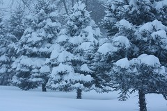 Snowy Pines (mlibrarianus) Tags: snow snowstorm blizzard pinetrees marylandsnow2009
