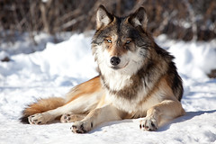 Grey Wolf (Sam Attal) Tags: animal mammal grey wolf endangered cannine mennisota wildlifescincecenter