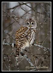 January 3 - Here's looking at you... (Lynn McFulton) Tags: snow beautiful brighton pad barredowl blustery project365 thanksalex 2010yip anotheraddiciton