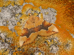 Barred Yellow (DarrenU) Tags: longmelford suffolk barredyellow cidariafulvata