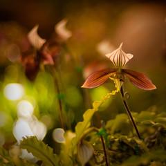 Paphiopedilum (kktp_) Tags: flowers thailand lumix dof orchids bokeh voigtlander panasonic paphiopedilum chiangrai gf1 voigtlandernokton50mm paphiopedilumhennisianum