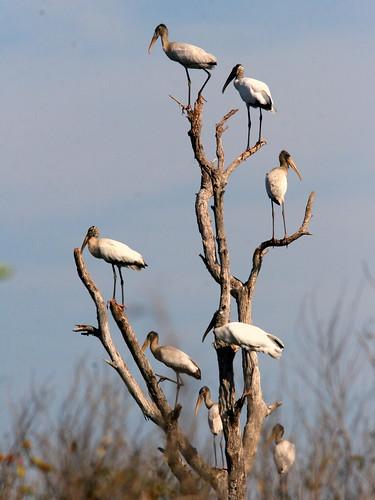 Stork Tree 20100118
