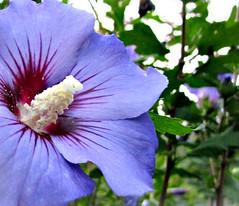 """handselected: """" naturemasterclass """" Photo, Hibiscus flower violett purple violet Straucheibisch """"Hibiscus syriacus"""" Sharonrose """"Syrischer Eibisch"""" Garteneibisch """"Rose of Sharon"""" """"Shrub Althea"""" """"Wilder Hibiscus Strauch"""""""