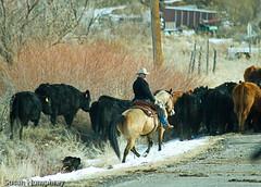 Cattle Drive (HLazyJ - Susan Humphrey) Tags: horse cowboys colorado cows angus cattledrive canon7d susanhumphrey