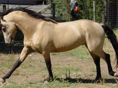 Baroque Buckskin Morgan Stallion (cemcclendon) Tags: horses horse animal animals tags morgan stallion flashy buckskin allaround westernriding equinenow:user=39607 geo:lat=440827126 geo:lon=1231907876