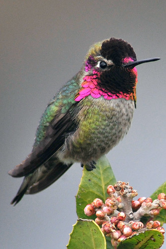 Annas Humingbird 1