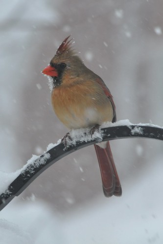 Mama Cardinal with snowy beard... ENOUGH!