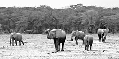 The Herd (@PAkDocK / www.pakdock.com) Tags: africa park travel wild bw white storm elephant black blanco animal animals walking landscape tanzania photography dock sand slow natural skin kenya path negro border reserve dry son fave arena explore step drought paso remote feed dust heavy herd kenia elefante pak amboseli tusker manada wildness pakdock