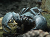 Scorpio king (zoran1304) Tags: black up canon dark zoo big scary dangerous king close head powershot scorpio scorpion claw zagreb poison barb predator terrarium claws poisonous deadly venomous s5 venom prosoma