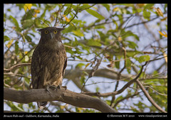 Brown Fish-owl (M V Shreeram) Tags: india bird nature birds canon wildlife aves ave karnataka avifauna strigidae galibore 300mmf4is brownfishowl ketupazeylonensis 40d