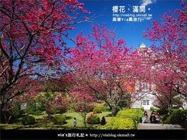 【九族櫻花季】櫻花滿開!最浪漫的九族文化村櫻花季6