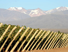 Primera cosecha del viñedo más alto de Mendoza